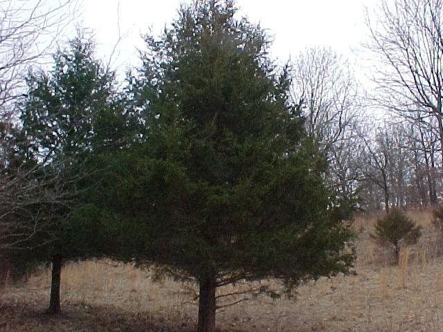 http://treepicturesonline.com/cedar-44.jpg