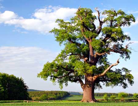 oak_tree4